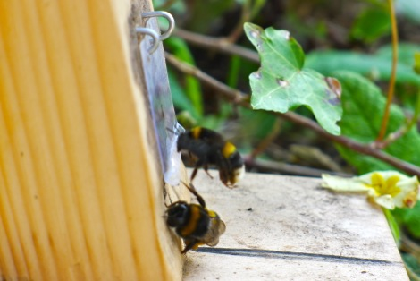 Bumblebees Using Cat Flap Read More Here How The Bumblebee