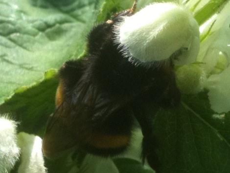 Queen bumblebee feeding upon white dead nettle- 15 April 2011