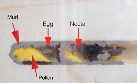 Nurturing Nature inside red mason bee cell