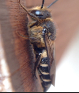 Coelioxys bee about to enter a leafcutter bee cell 2 Nurturing Nature