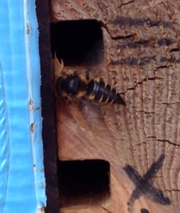 Coelioxys bee about to enter a leafcutter bee cell Nurturing Nature