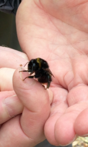 soaked, slow and very sorry looking queen bumblebee!