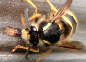 Queen wasp chewing my shed!