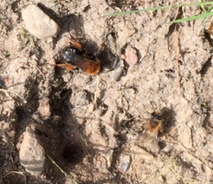Female and smaller male early mining bee at nest site Nurturing Nature