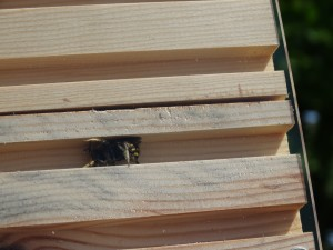First ever male wool carder bee in Nurturing Nature nest box