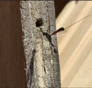 One of many cleptoparasitic wasps visiting my garden
