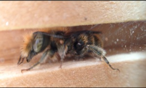 Osmia caerulescens? male bue mason bee Nurturing Nature