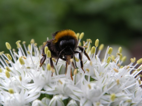 Bumblebee pollinating onion flower