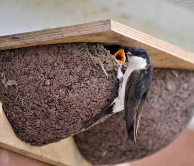 house martins-at-nest-doug-welch