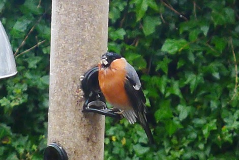 Bullfinch eating sunflower hearts. Are they containmated with neonicotinoids?