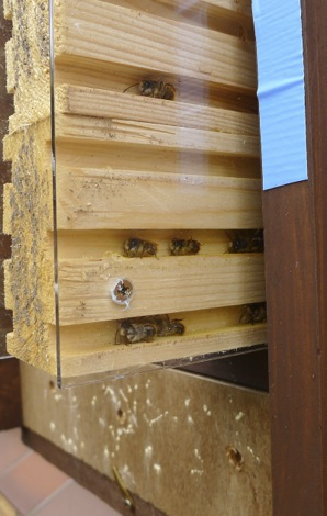 Male solitary bees inside observation nest box