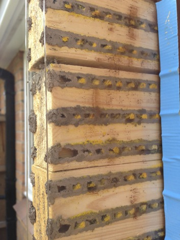 Watch the red mason bees inside the solitary observation nest box