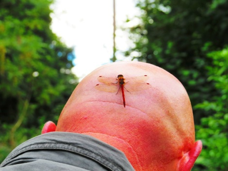 Common darter dragonfly on my head!