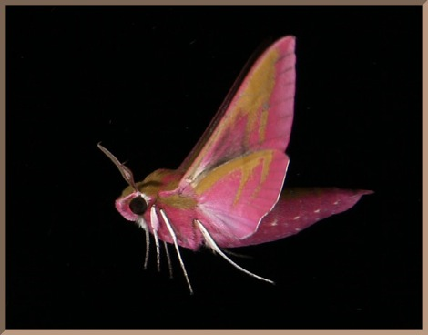 Elephant hawk moth in best costume!