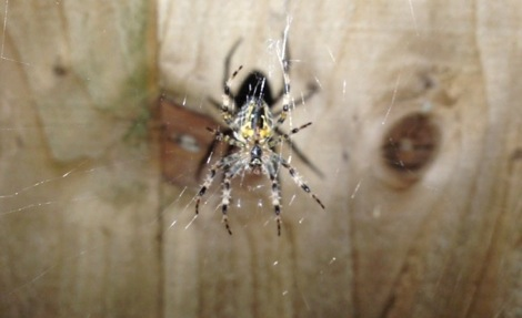 Female spider on her web