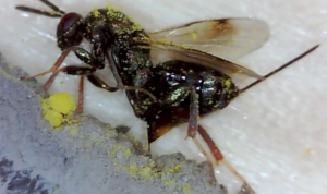 Monodontomerus wasp ovipositing through mud & inside a Red mason bee cocoon