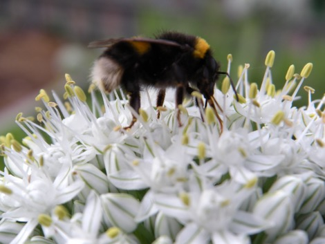 Bumblebee pollinating onion Nurturing Nature