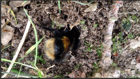 Queen B. terrestris hibernation site exploration dig Nurturing Nature