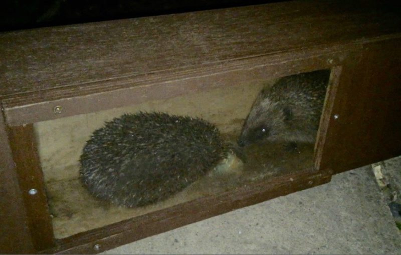 Not One But Two Hedgehogs Feeding In Feeding Station With