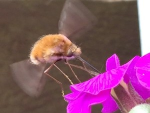 Bee fly on Aubrietia Nurturing Nature