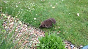 Hedgehog in garden Nurturing Nature