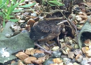 Very young blackbird chick Nurturing Nature
