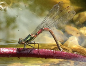 Large red damselfly ovipositing Nurturing Nature