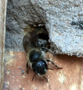 Female Blue mason bee emerging to start her new life
