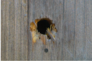 Great tit damage to Red mason bee cell
