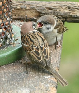 Adult tree sparrow feeding one of its young
