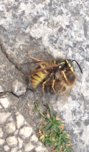 Honeybee caught mid air by wasp, decapitated and carted off!