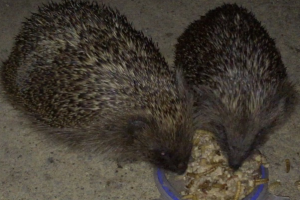 2 young Hedgehogs feeding in my wildllife garden