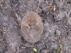 A rare sight. Hedgehog in garden