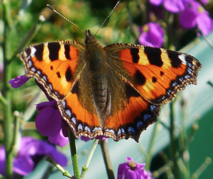 Small Tortoiseshell declining in my garden