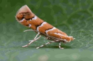 The horse-chestnut leaf-miner (Photo: Rich Andrews)