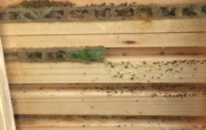 Red Mason bees will have to chew their way though the Leafcutter bee cells. Now that is a problem!