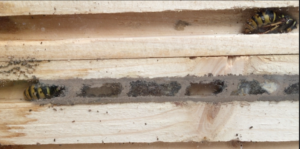 Hibernating queens wasps inside solitary bee nest box