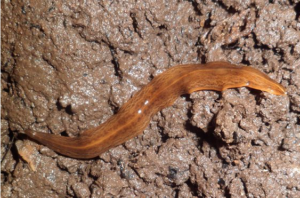 The Obama flatworm (Obama nungara) is native to South America but has spread through Europe to the UK via the plant trade, say botanists. Photograph: Courtesy of Piterkeo